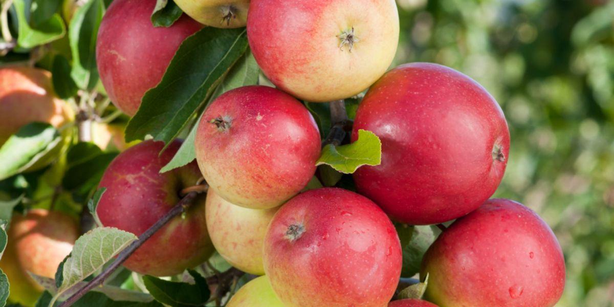 Árbol de la manzana