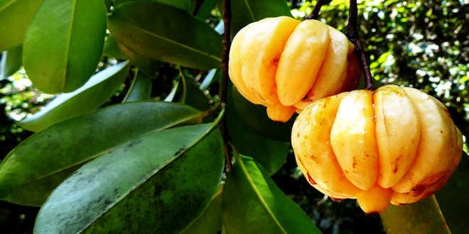 Fruto Garcinia Cambogia