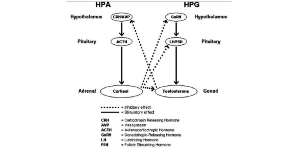 efectos hormonas