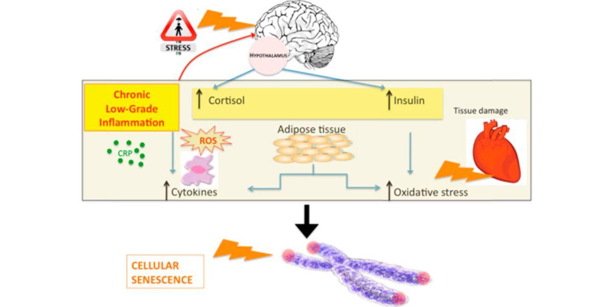 Mecanismo simplificado de senescencia celular mediada por la proliferación de citoquinas proinflamatorias