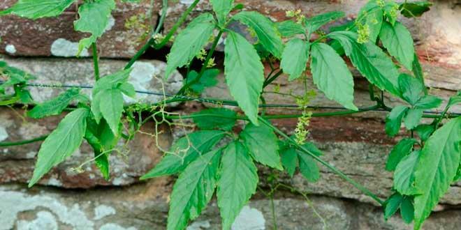 Los Beneficios de la Hierba Gynostemma Pentaphyllum