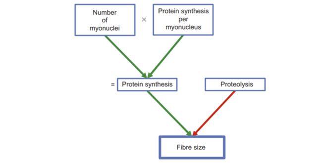 Causas de las alteraciones en el tamaño de las fibras musculares