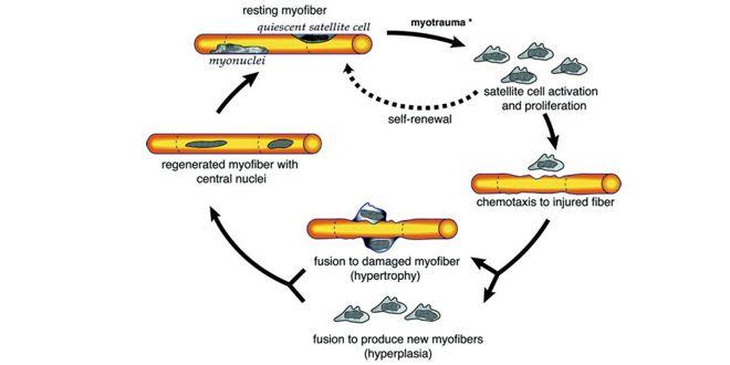 Proceso de reparación de una miofibrilla tras un miotrauma por quimiotaxia de células satélites