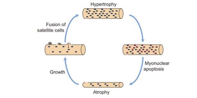 Modelo tradicional del proceso de hipertrofia-atrofia-hipertrofia