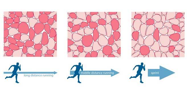 Tipos de fibras musculares y su relación con el deporte
