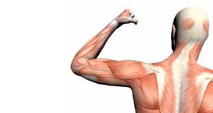 tipos de fibras musculares diferencias