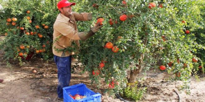 Cultivo fruto granada