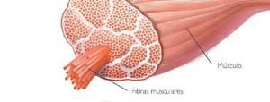composición tejido muscular