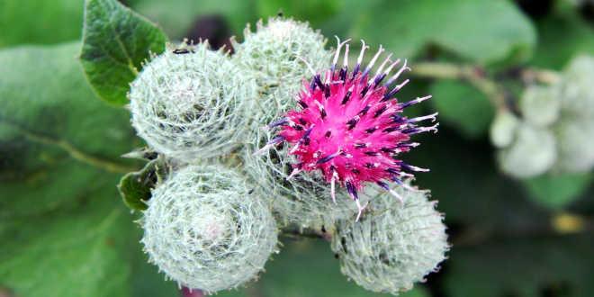 Flor bardana