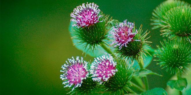 Bardana – Propiedades de su raíz y beneficios para la piel