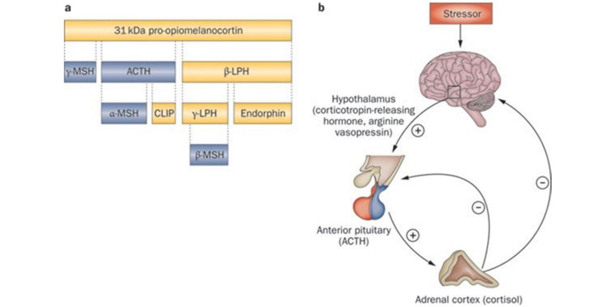 Mecanismo simplificado de biosíntesis de hormonas glucocorticoides y endorfinas.