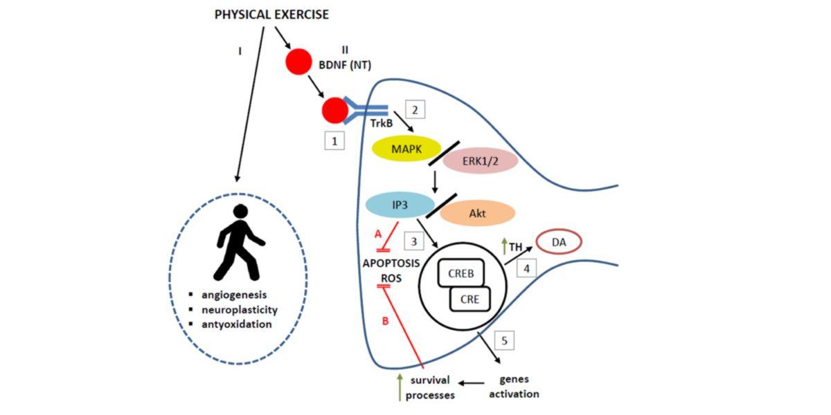 Modulación del ejercicio físico sobre la neuroprotección mediada por el factor neurotrófico BDNF