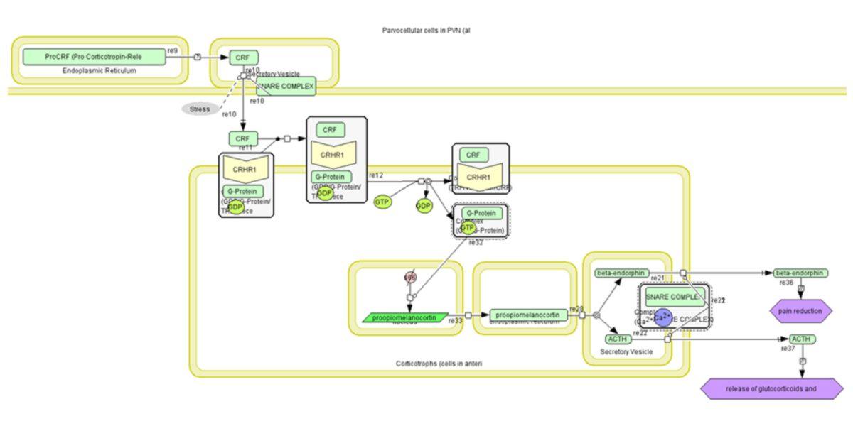 Mapa de la ruta de biosíntesis de hormonas glucocorticoides y endorfinas.