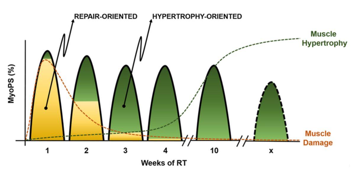 Evolución de la síntesis proteica en relación al daño muscular