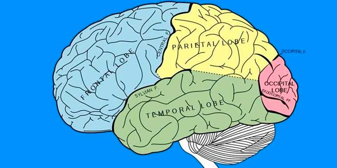 Zonas del Cerebro