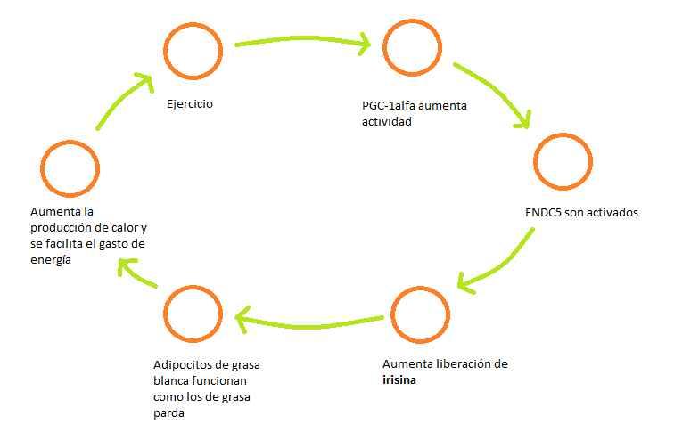 ciclo-irisina