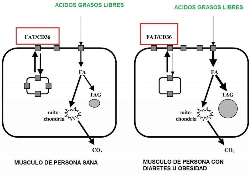 metabolismo-personas-sanas-vs-diabeticos
