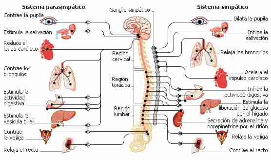 sistema-parasimpatico