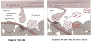 activacion-muscular