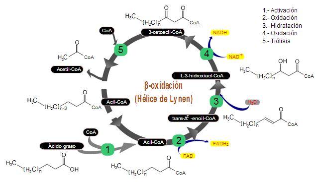 beta-oxidacion