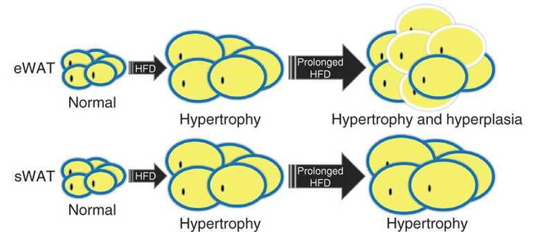 hipertrofia-e-hiperplasia