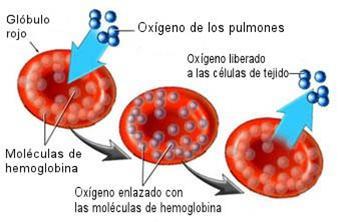 globulos-rojos