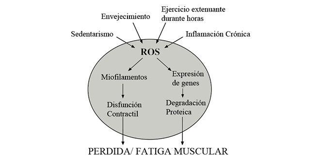 pérdida muscular en ayunas
