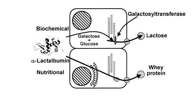 Beneficios del Aislado de Proteína de Suero