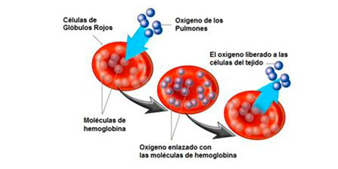 cuanto tarda el cuerpo en recuperar sangre donada