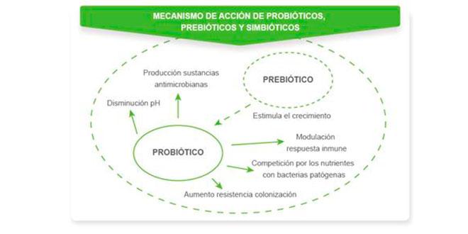 mecanismo accion probioticos