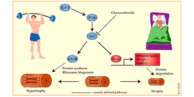 efectos-hormonoales-hmb