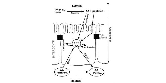 aminoacidos-en-sangre