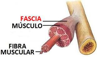 fascia-muscular