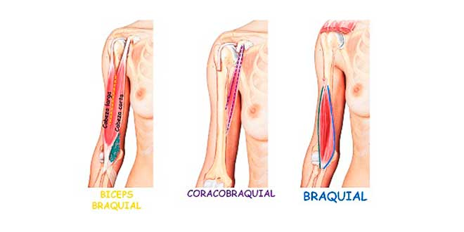 biceps-braquial