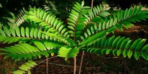 Planta Eurycoma Longifolia