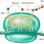transcripción síntesis proteínas