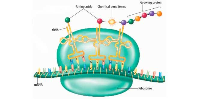 Iniciación de la transcripción en la síntesis de proteínas