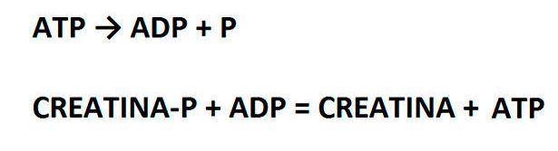 Creatina ATP-ADP