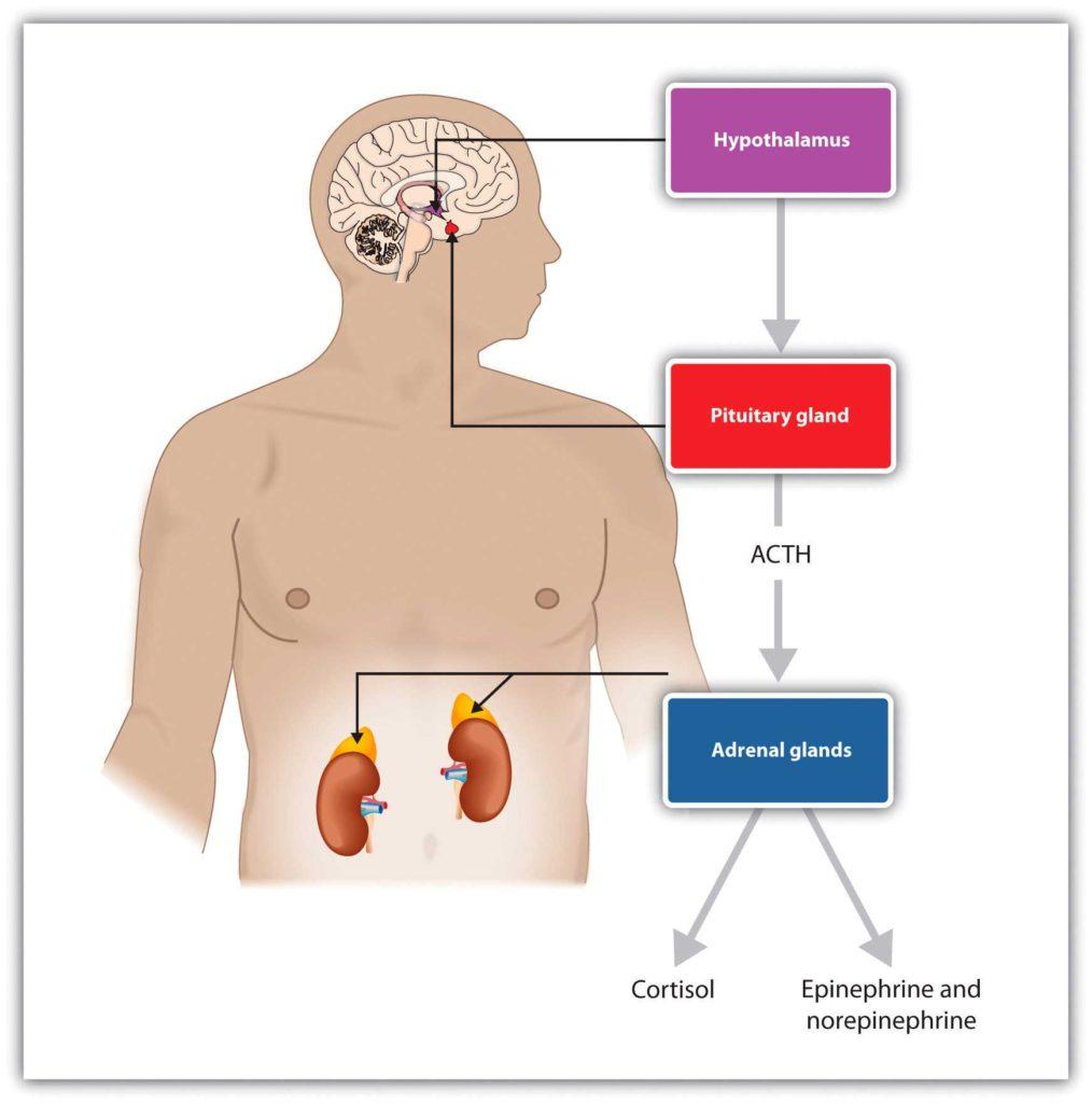 esquema-cortisol