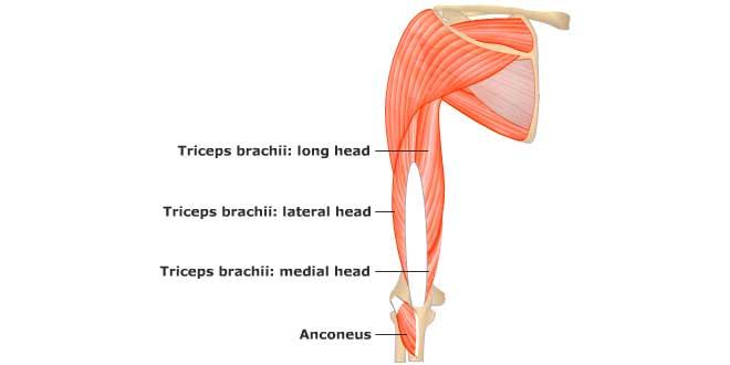 cabezas-triceps