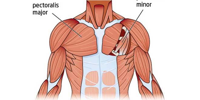Anatomía del Pectoral
