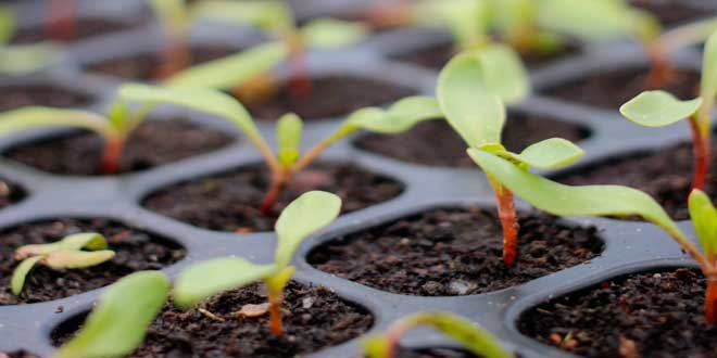 Cultivar Brotes