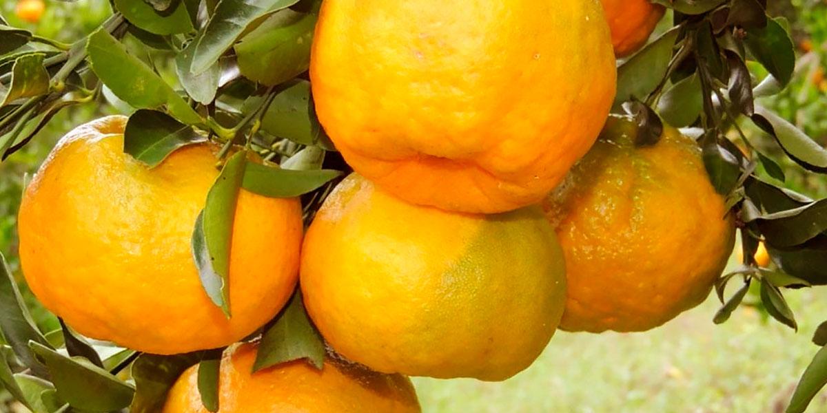 Naranja orgánica