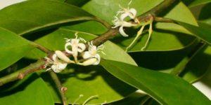 Muira Pumua Afrodisiaca