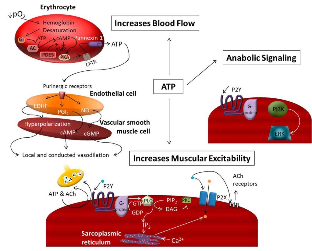 ATP Extracelular