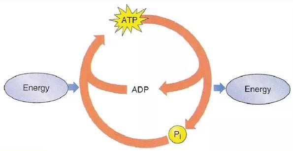 Ciclo ATP ADP