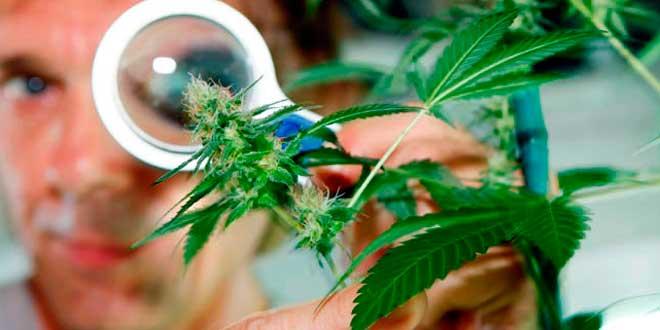 Diabetes y Marihuana, ¿un posible tratamiento?