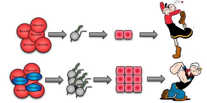 Relación Miostatina y Folistatina