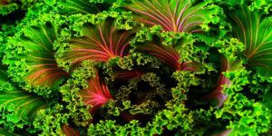 Planta Kale