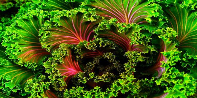Kale o Col Rizada – Los Secretos de un Alimento rico en Nutrientes